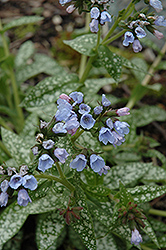 Roy Davidson Lungwort (Pulmonaria 'Roy Davidson') at Homestead Gardens