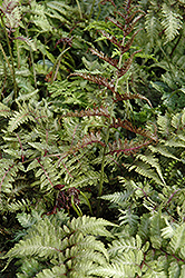 Japanese Painted Fern (Athyrium nipponicum 'Metallicum') at Homestead Gardens