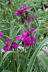 Red Grape Spiderwort (Tradescantia x andersoniana 'Red Grape') at Homestead Gardens