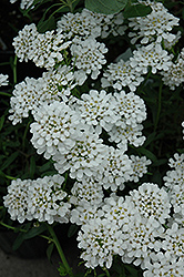 Alexander White Candytuft (Iberis sempervirens 'Alexander White') at Homestead Gardens