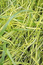 Variegated Palm Sedge (Carex muskingumensis 'Oehme') at Homestead Gardens