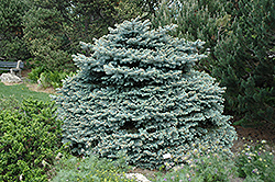 Montgomery Blue Spruce (Picea pungens 'Montgomery') at Homestead Gardens
