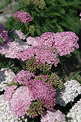 Apple Blossom Yarrow (Achillea millefolium 'Apple Blossom') at Homestead Gardens