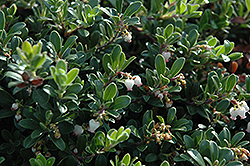 Massachusetts Bearberry (Arctostaphylos uva-ursi 'Massachusetts') at Homestead Gardens