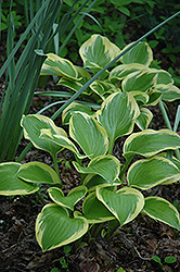 Queen Josephine Hosta (Hosta 'Queen Josephine') at Homestead Gardens