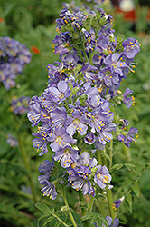Heavenly Habit Jacob's Ladder (Polemonium boreale 'Heavenly Habit') at Homestead Gardens