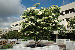 Ivory Silk Japanese Tree Lilac (Syringa reticulata 'Ivory Silk') at Homestead Gardens