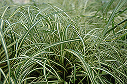 Evergold Variegated Japanese Sedge (Carex oshimensis 'Evergold') at Homestead Gardens