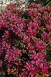 Dragon's Blood Stonecrop (Sedum spurium) at Homestead Gardens