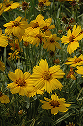 Tequila Sunrise Tickseed (Coreopsis 'Tequila Sunrise') at Homestead Gardens