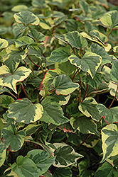 Variegated Chameleon Plant (Houttuynia cordata 'Variegata') at Homestead Gardens