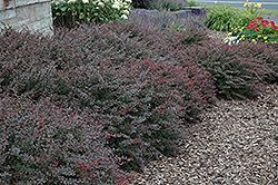 Crimson Pygmy Japanese Barberry (Berberis thunbergii 'Crimson Pygmy') at Homestead Gardens