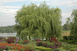 Golden Weeping Willow (Salix alba 'Tristis') at Homestead Gardens
