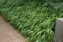 Japanese Woodland Grass (Hakonechloa macra) at Homestead Gardens