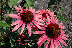 Big Sky Twilight Coneflower (Echinacea 'Big Sky Twilight') at Homestead Gardens