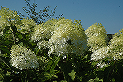 Phantom Hydrangea (Hydrangea paniculata 'Phantom') at Homestead Gardens