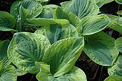 Brim Cup Hosta (Hosta 'Brim Cup') at Homestead Gardens