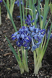 Harmony Reticulated Iris (Iris reticulata 'Harmony') at Homestead Gardens