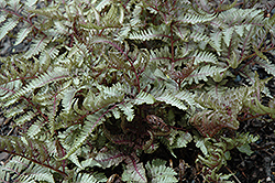 Red Beauty Painted Fern (Athyrium nipponicum 'Red Beauty') at Homestead Gardens