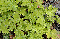 Key Lime Pie Coral Bells (Heuchera 'Key Lime Pie') at Homestead Gardens