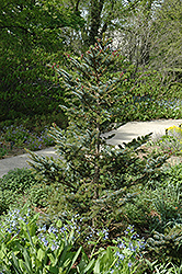 Howell's Dwarf Tigertail Spruce (Picea bicolor 'Howell's Dwarf Tigertail') at Homestead Gardens