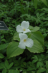 Great White Trillium (Trillium grandiflorum) at Homestead Gardens