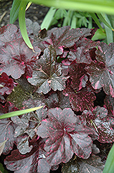 Midnight Rose Coral Bells (Heuchera 'Midnight Rose') at Homestead Gardens
