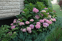 Endless Summer® Hydrangea (Hydrangea macrophylla 'Endless Summer') at Homestead Gardens