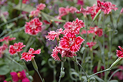 Strawberry Sorbet Pinks (Dianthus 'Strawberry Sorbet') at Homestead Gardens