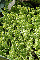 Golden Moss Stonecrop (Sedum acre 'Aureum') at Homestead Gardens