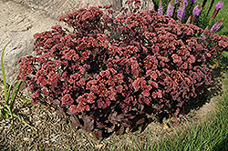 Purple Emperor Stonecrop (Sedum 'Purple Emperor') at Homestead Gardens