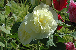 Chater's Double Yellow Hollyhock (Alcea rosea 'Chater's Double Yellow') at Homestead Gardens