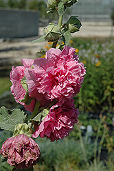 Chater's Double Pink Hollyhock (Alcea rosea 'Chater's Double Pink') at Homestead Gardens