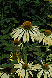 Big Sky Sunrise Coneflower (Echinacea 'Big Sky Sunrise') at Homestead Gardens
