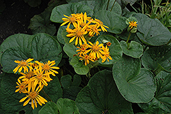 Desdemona Rayflower (Ligularia dentata 'Desdemona') at Homestead Gardens
