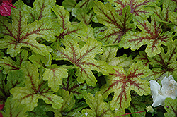 Alabama Sunrise Foamy Bells (Heucherella 'Alabama Sunrise') at Homestead Gardens