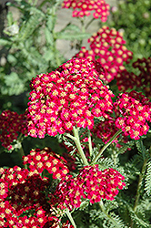 Red Velvet Yarrow (Achillea millefolium 'Red Velvet') at Homestead Gardens
