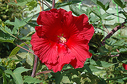 Fireball Hibiscus (Hibiscus 'Fireball') at Homestead Gardens