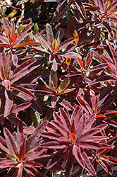 Bonfire Cushion Spurge (Euphorbia polychroma 'Bonfire') at Homestead Gardens