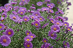 Believer Aster (Aster 'Believer') at Homestead Gardens