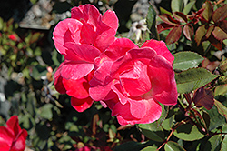 Pink Knock Out® Rose (Rosa 'Radcon') at Homestead Gardens
