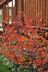 Autumn Magic Black Chokeberry (Aronia melanocarpa 'Autumn Magic') at Homestead Gardens