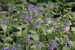 Majeste Lungwort (Pulmonaria 'Majeste') at Homestead Gardens