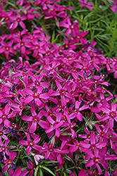 Purple Moss Phlox (Phlox subulata 'Atropurpurea') at Homestead Gardens
