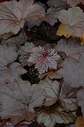 Blackout Coral Bells (Heuchera 'Blackout') at Homestead Gardens