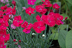 Neon Star Pinks (Dianthus 'Neon Star') at Homestead Gardens