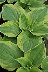 Wide Brim Hosta (Hosta 'Wide Brim') at Homestead Gardens