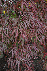 Tamukeyama Japanese Maple (Acer palmatum 'Tamukeyama') at Homestead Gardens