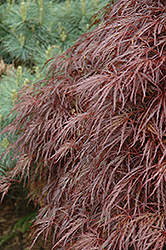 Red Select Cutleaf Japanese Maple (Acer palmatum 'Dissectum Red Select') at Homestead Gardens
