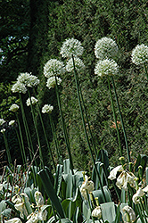 Mount Everest Ornamental Onion (Allium 'Mount Everest') at Homestead Gardens